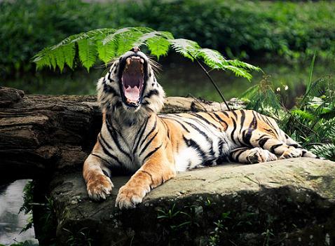 Los mejores fondos de tigres de bengala para tu escritorio