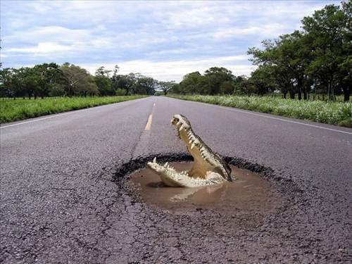 Fondo de un cocodrilo en plena carretera