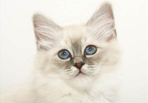 Una Gato Blanco como fondo