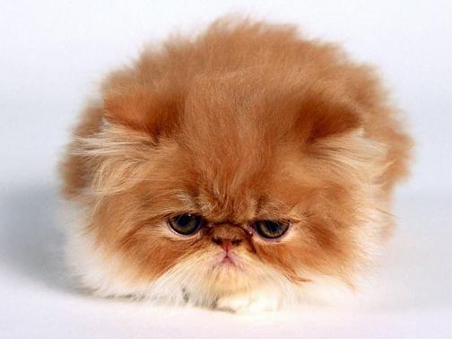 Un gato lleno de pelos como fondo